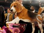 Good Dogs! 20 Years of Covering Westminster Kennel Club Show